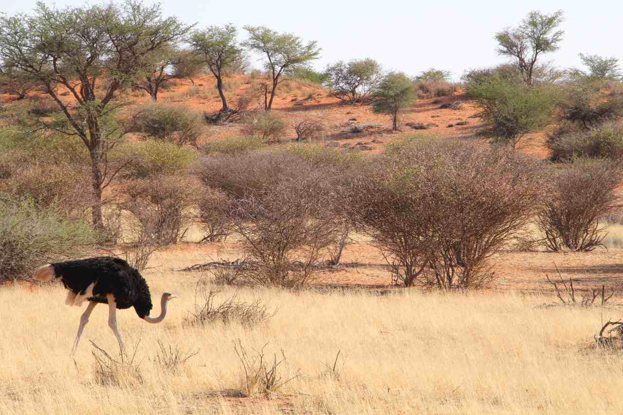 Reiten Reitsafari Safari Landschaft Kalahari Strauß